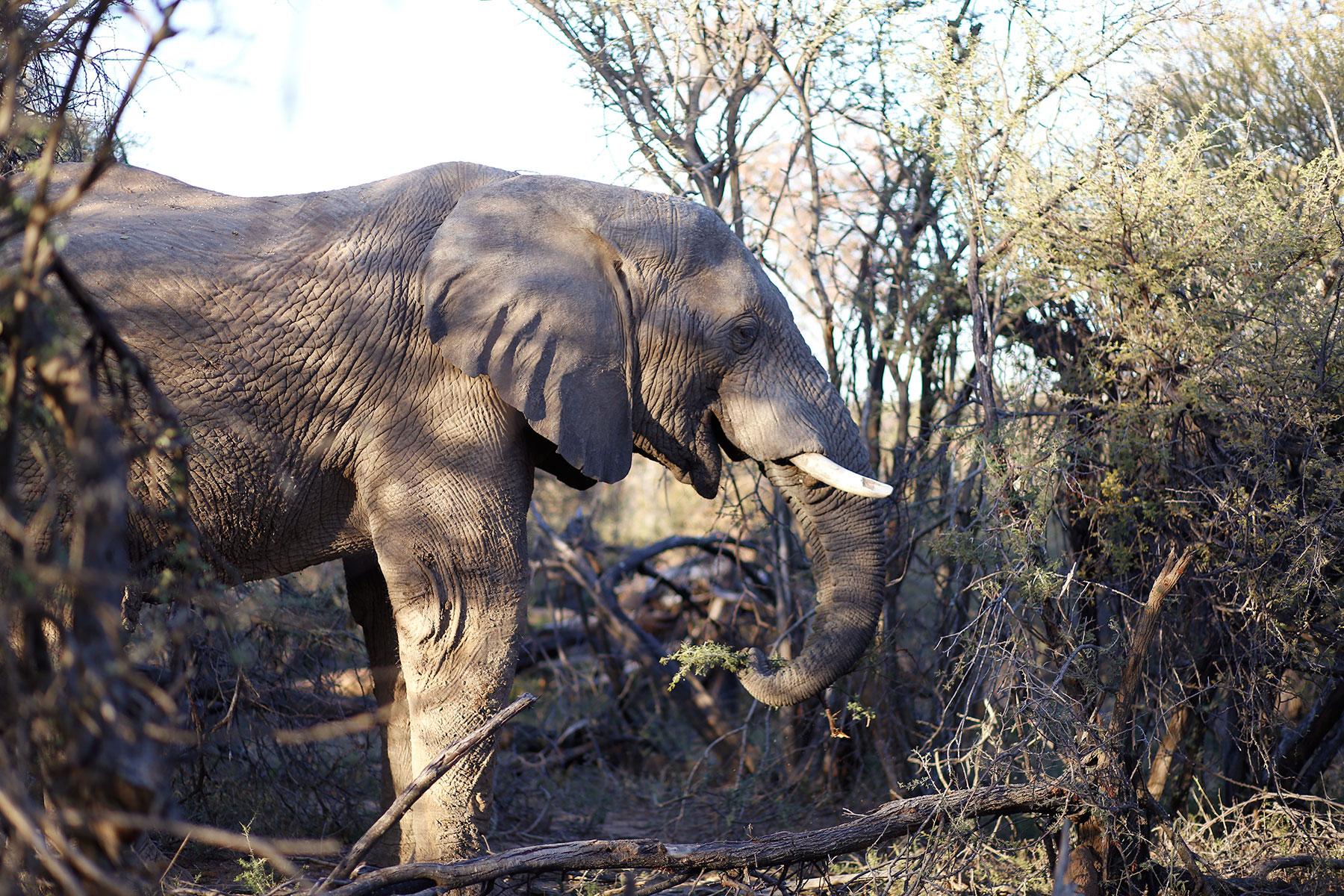 elephant-maratba